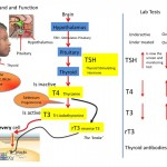 Thyroid Hm Flow